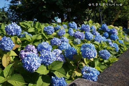 隅田公園のあじさい