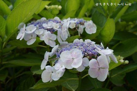 隅田公園のあじさい③
