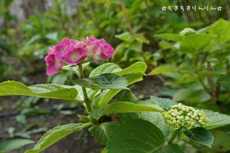 隅田公園のあじさい④
