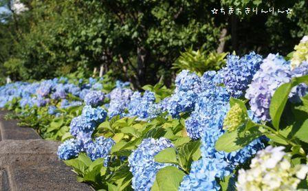 隅田公園のあじさい⑥