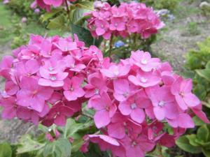 2アジサイ花