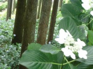 3アジサイ花
