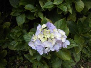 アジサイ花