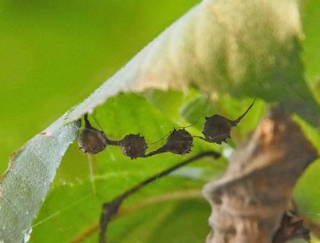 マメイタイセキグモ卵