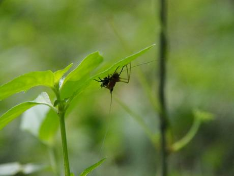 ササキリ幼虫3