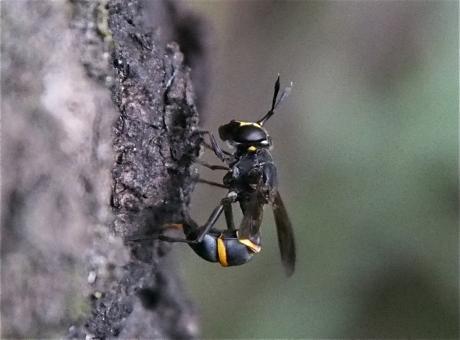 ハチモドキハナアブ産卵中