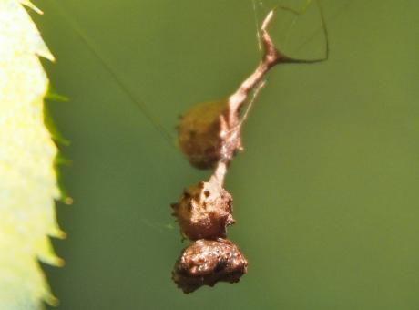 マメイタイセキグモ&卵嚢2