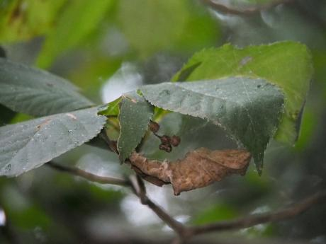 マメイタイセキグモ&卵嚢