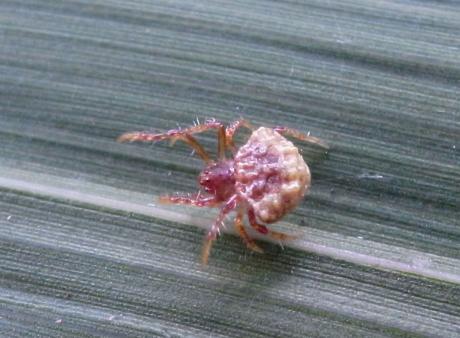 不明クモ幼体