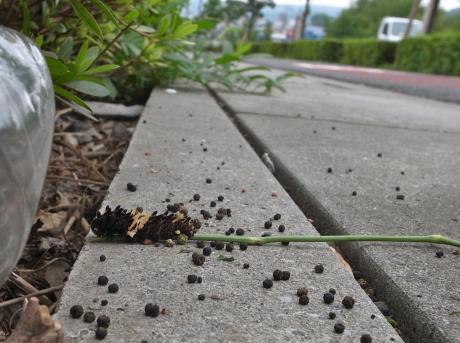 ジャコウアゲハ幼虫2