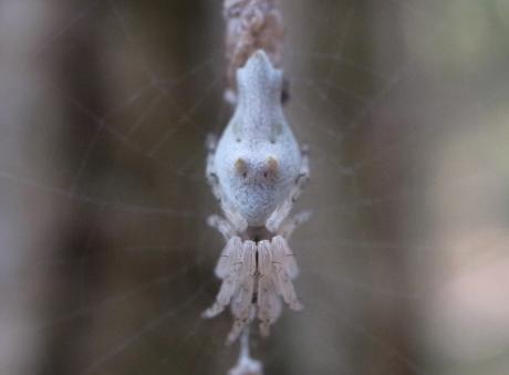 キジロゴミグモか2