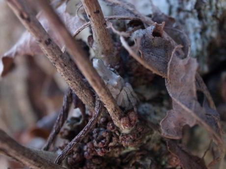 キジロゴミグモ