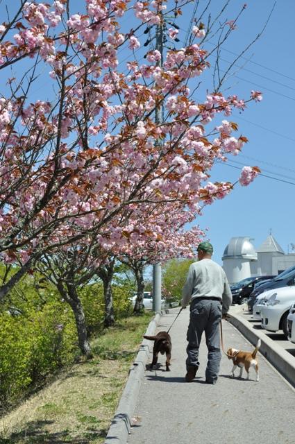 八重桜がきれい☆