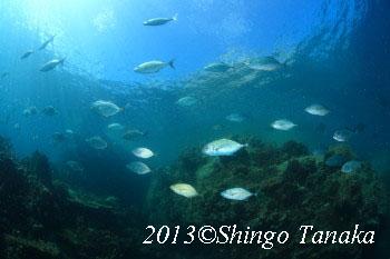 タオ島、ダイビング、コガネアジ
