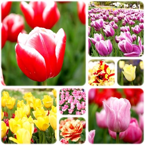 tulip_20130421103051.jpg