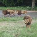 食後にうろつくライオン達