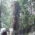 幸運が舞い込む杉の大木