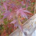紅葉の葉のアップ