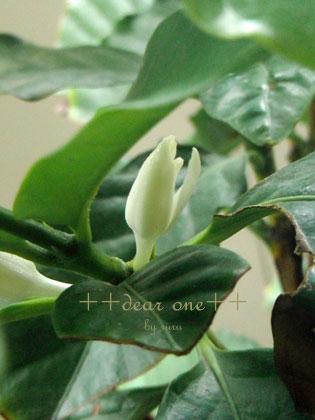 コーヒーの花130726_7