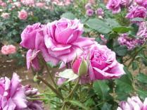 20130519 rose festival (2)