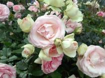 20130519 rose festival (3)