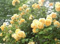 20130519 rose festival (5)