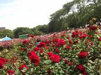 20130519 rose festival (6)