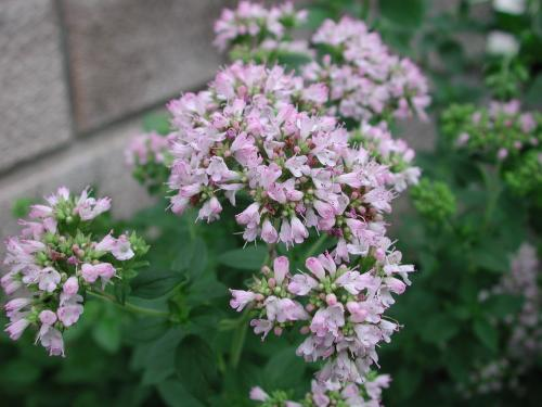 oregano2013july7
