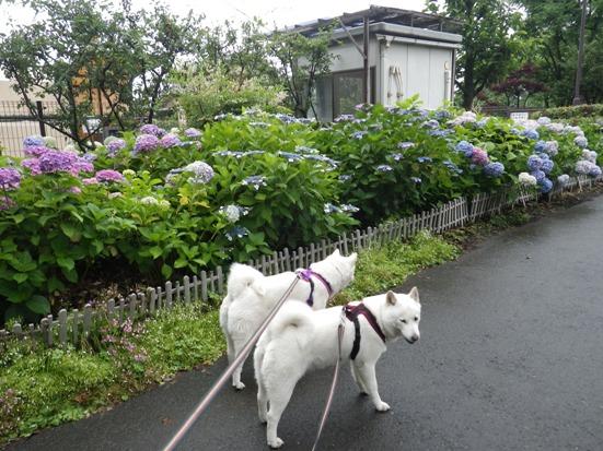 2013.6.12 紫陽花の前で…花&花鈴
