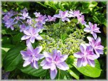三室戸寺 紫陽花1