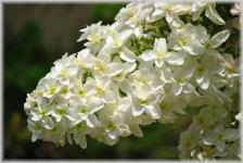 三室戸寺 紫陽花9