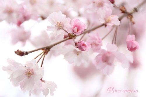 2IMG_2013_03_28_9999_63枝垂れ桜5