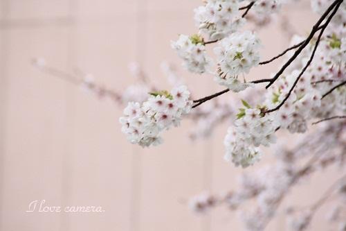桜桜IMG_2012_04_03_4962