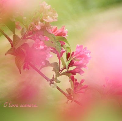 2IMG_2013_04_23_9999_39ピンクの花