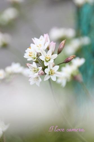 花白い花IMG_2013_04_25_9999_19白い