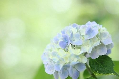 2IMG_2012_06_15_7732紫陽花2