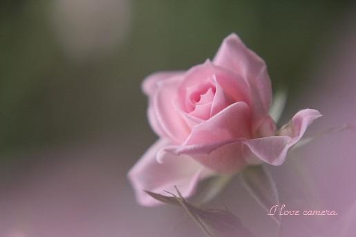 バラ薔薇IMG_2012_05_08_6197