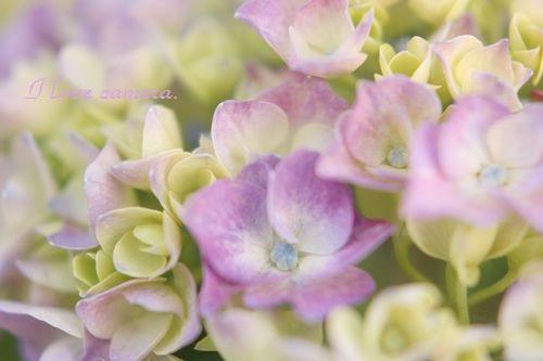 IMG_2013_05_25_9999_47紫陽花