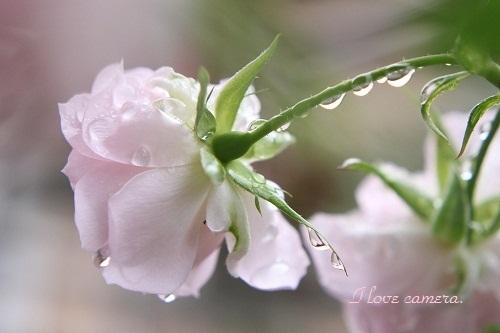 雫薔薇のIMG_2012_05_16_6531