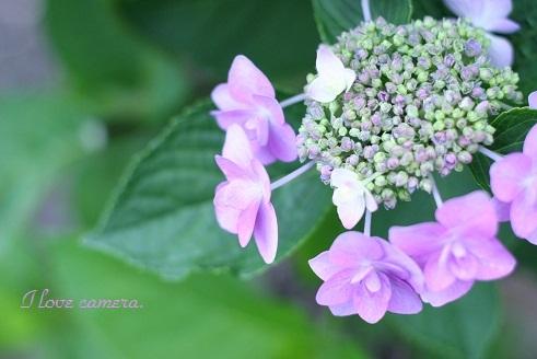 2011_0613_173241-IMG_2003紫陽花1