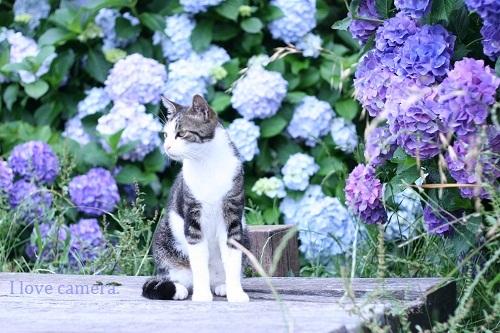 ネコ2011_0613_144204-IMG_1907紫陽花と