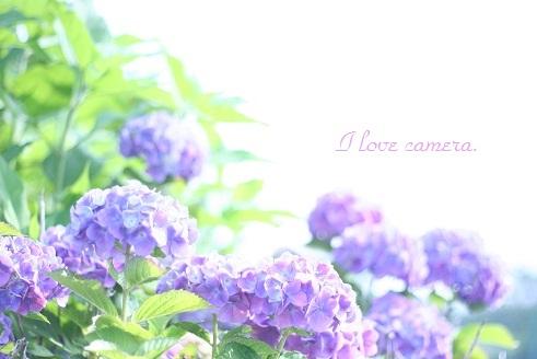 2011_0609_152646-IMG_1515  紫陽花