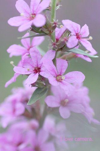 IMG_2013_07_21_9999_103ピンクの花3