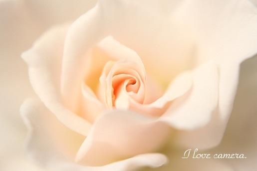 IMG Rose3