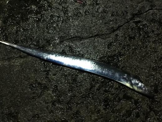 20141129001_ダートスクイッドで釣れたタチウオ