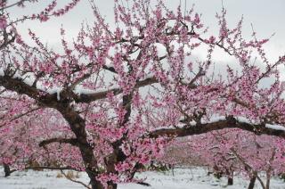 桃の花48