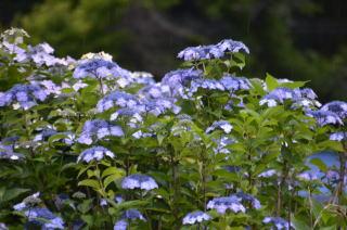 青紫陽花5