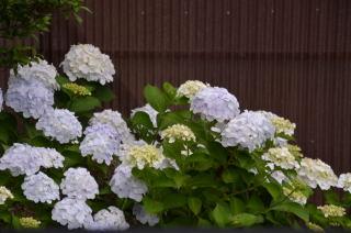 白紫陽花7