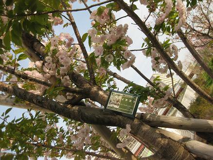 桜 イチヨウ 409