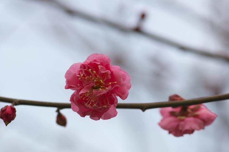 20140128_高津公園の梅_2